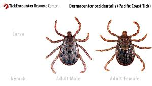 Cdc Tick Identification Chart Tickencounter Resource Center Tick Identification
