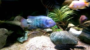 Labyrinth Fish Tank Central American Cichlids Community Tank Sub Share Like Youtube