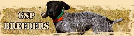 german short haired pointer dog