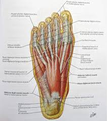 Foot Nerves Anatomy Pictures Diagram Of Nerves In Foot