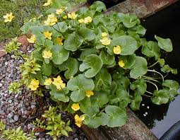 marsh marigold or kingcup is a plant that covers many of the fields covered above it has large light green leaves and lots of yellow flowers