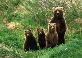 о буром медведе для детей Доклад о буром медведе для детей