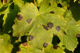 Maple Tar Spot Disease: Learn About The Control Of Maple Tar Spot
