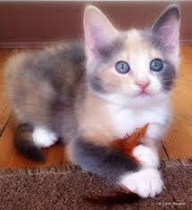 dilute calico kittens for sale.  Sale Adoptable Dilute Tortie To Dilute Calico Kittens For Sale U
