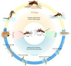 Biological Life Cycle Wikipedia