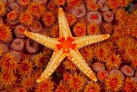 fascinating facts about sea stars sea star on tubastrea hard coral colony
