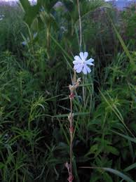 Silene noctiflora - Michigan Flora