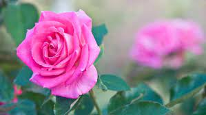 200 beautiful rose wallpapers for puters