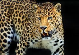 第3只在逃金钱豹体力或达极限:雌豹 有人听到低吼