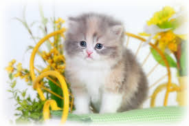 dilute calico kittens for sale. Beautiful Sale Dilute Calico Teacup Persian Kitten On Kittens For Sale E