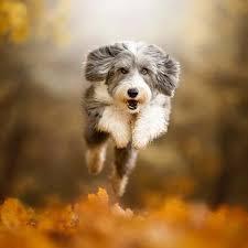 Hunderassen, süße kreuzung, rasse, hunderasse, top 10 hunderassen, beste hunderassen, süße hunderassen, schöne rasse, süßeste hunderassen, mächtige. Das Sind Die Teuersten Hunderassen Der Welt