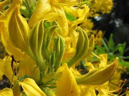 rhododendron as a gift symbolize