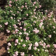 photo of rose garden el paso tx united states beautiful roses in