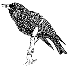 Coloring Page Starling Dl16016 Jpg 1