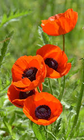 Pin by Wendi Rhodes on plants - poppies, orange to red | Flower pictures,  Poppy flower, Flowers