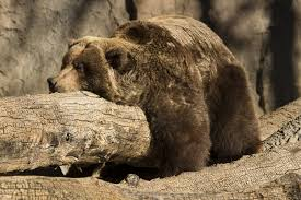 grizzly bear hugging a log