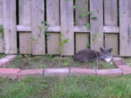 how to keep cats out of the garden. Dave Is Comfortable In My Ugly Make-shift Garden Bed. How To Keep Cats Out Of The N