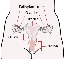 female reproductive system   wikipediafrontal view as scheme of reproductive organs