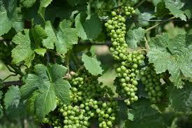 Risultati immagini per uva per vino