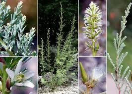 Myricaria germanica (L.) Desv. - Portale alla flora del Parco ...