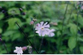 Plants Profile for Silene latifolia alba (bladder campion)