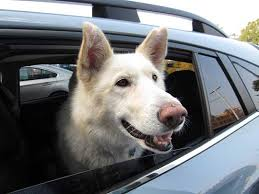 2018 subaru dog commercial. simple commercial elsa is a happy 5 year old shepardhusky looking out of her new 2018 throughout subaru dog commercial