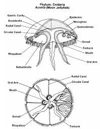 Jellyfish body parts enlarge and then look at the labelled rh pinterest box jellyfish anatomy jellyfish diagram worksheet