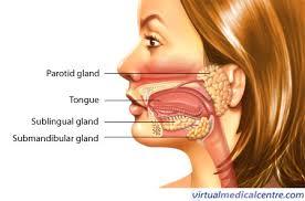 Image result for salivary glands