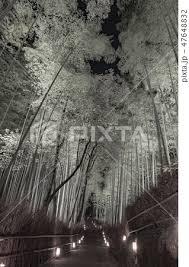 竹灯路の写真素材 Pixta