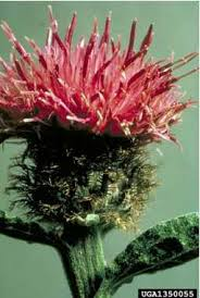 Centaurea nigra - Online Virtual Flora of Wisconsin