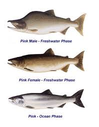 Pacific Northwest Fish Id Oncorhynchus Gorbuscha Pink Or