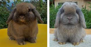 Mini Lop Colour Chart Holland Lop Rabbit Color Chart Holland Lop Rabbit Colors