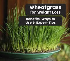 wheatgr for weight loss benefits