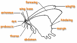 the children s butterfly site adult anatomy