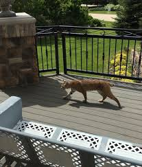 the wildlife in my wild life photo essay susie lindau s wild ride according to my neighbor two bobcats hung out at the front door while we were gone make yourself at home why don t ya of course i never saw them after