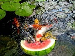 water garden and koi pond designs for