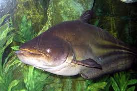Catfish Chart Worlds Top 10 Species Of Giant Catfish