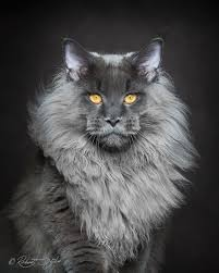 Maine Af Coon Album Cats Majestic Imgur - On