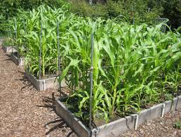 corn grows well in raised beds if plenty of nutrients have been added to the soil