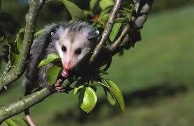 How To Tell The Age Of An Opossum Animals Mom Me