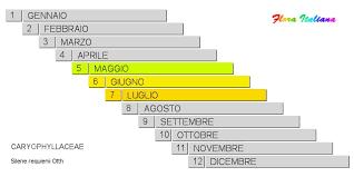 Silene requienii [Silene di Requien] - Flora Italiana