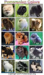 Dog Color Chart Pomeranian Colors
