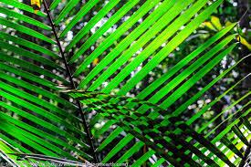amazon rainforest tree leaves. Delighful Amazon Amazon Bamboo Leaves Brazil To Rainforest Tree Leaves E