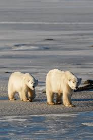 best images about my all time favorite travel pictures on click through to see my photo essay of polar bear