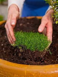 plant the moss or another groundcover of choice to create a