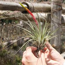 SALE - Giant Fasciculata Tricolor Air Plants / 7-12 Inches Tall - Set of