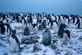 emperor penguin predators and prey.  Emperor Introduced Predators Including Cats Ferrets And Stoats That Eat Chicks  Eggs Dogs Prey On Adults Pose The Largest Threat To Yelloweyed  Inside Emperor Penguin Predators And Prey R