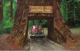 california redwood highway chandelier drive thru tree