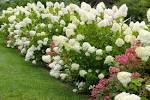 fall-blooming hydrangea