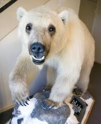 grolar bear size